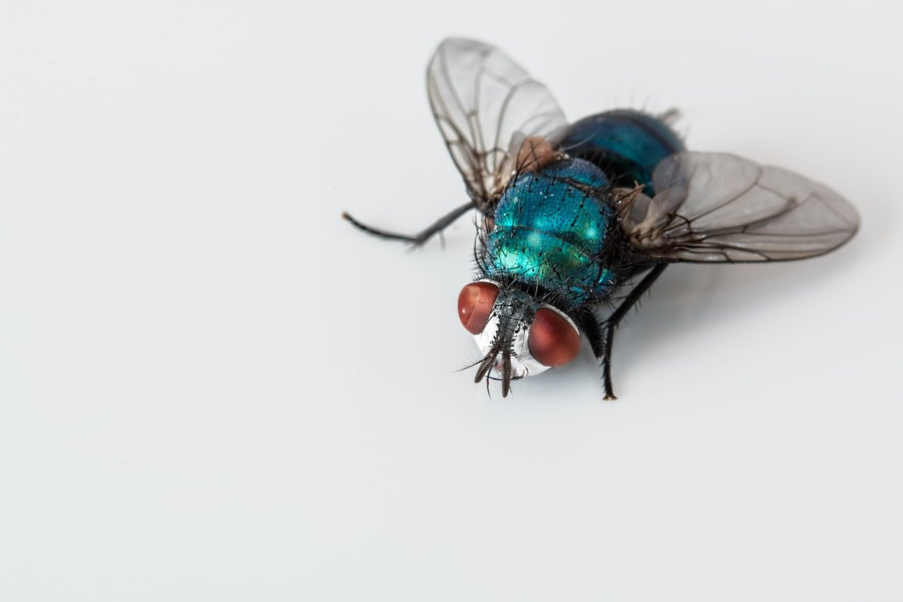 blowfly-2151453_1280